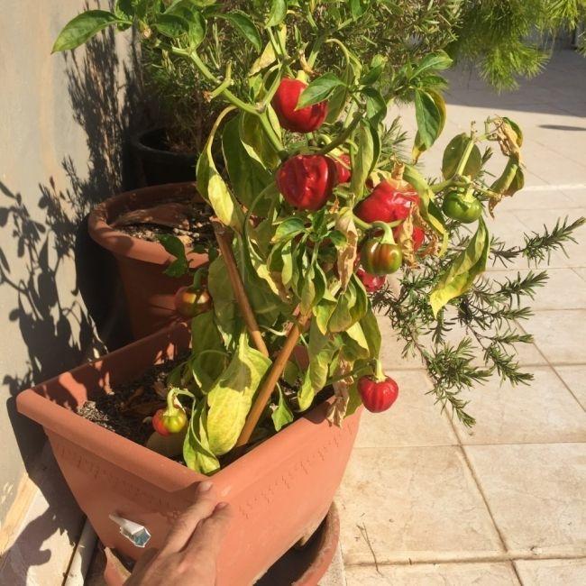 Cultivar Pimiento Morrón En Tu Casa En Macetas Planter Pots Planters Farm