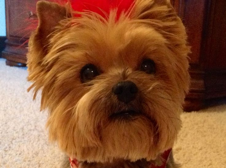 Yorkie Poo How To Cut Yorkie Brutus Face Cut My Fav