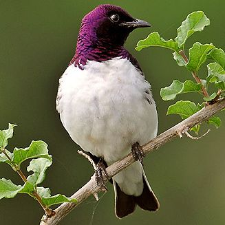 Plum-colored Starling