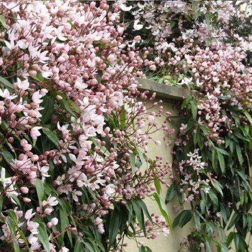 Clematis Hendersonii Rubra (groenblijvend)