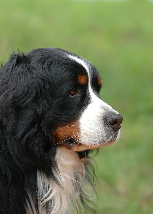332 best images about bernese mountain dogs and bernedoodles on pinterest puppys canvas. Black Bedroom Furniture Sets. Home Design Ideas