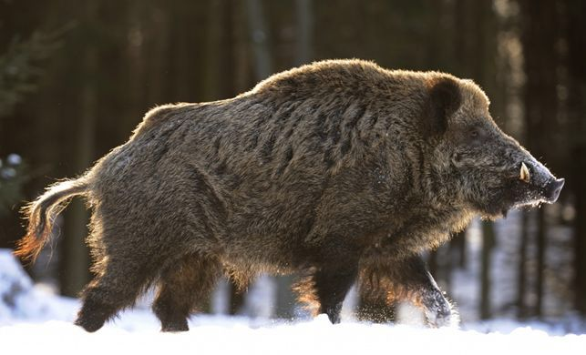 The wild boar is the symbol of strength, protection, and wealth. So it's no wonder it's Shemtir's national animal.