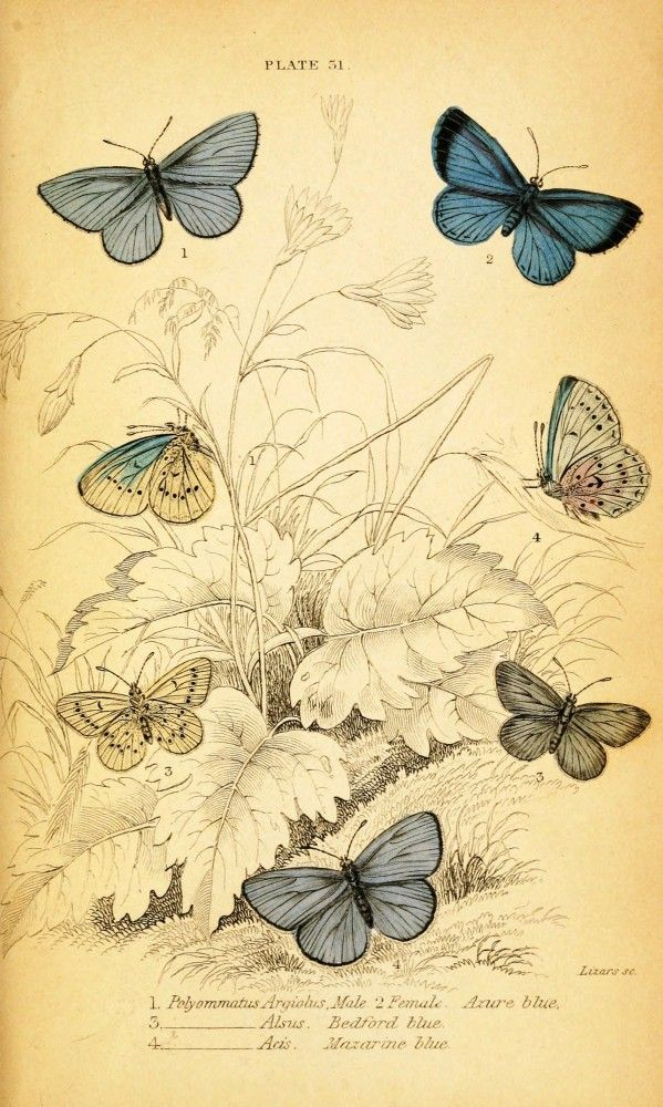 Animal - Insect - Butterfly - British Butterflies -  (6)