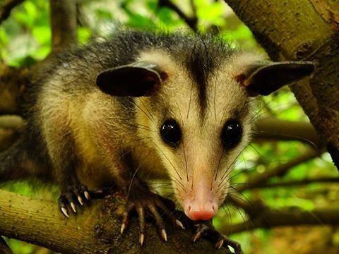 En Venezuela también tenemos marsupiales y son muy interesantes.  Sí sabemos que siempre has querido abrazar a un koala y ver qué hay dentro de la bolsa  de un canguro. Aunque estos son los marsupiales más populares también hay especies muy parecidas a ellos que están más cerca de ti de lo que pensabas.  Te presentamos al rabipelado conocido en otros países como zariguella estos animales suelen tener una mala reputación ya que son confundidos con ratas cuando realmente son parientes cercanos…