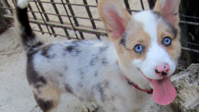 20 Ridiculously Cute Hybrid Corgi Breeds You Never Knew Existed