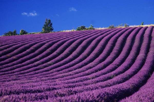 La leggenda della fioritura della lavanda in Provenza (FOTO)