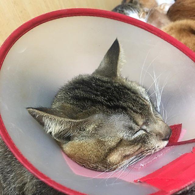 カンタクン。ただいま尿道結石治療にてエリザベスに囚われ中www  #猫#cat #catstagram #雑種ねこ #愛猫 #猫多頭飼い #ニャンスタグラム #instagood #instalike #instacat #cute #カンタくん#オス