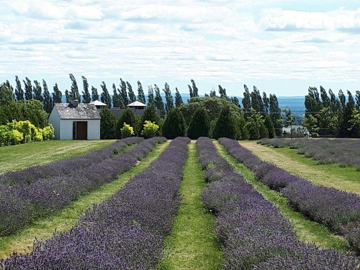 Champ de lavande. Lavender field. #nature #lavande #lavender #îledorleans #Quebec