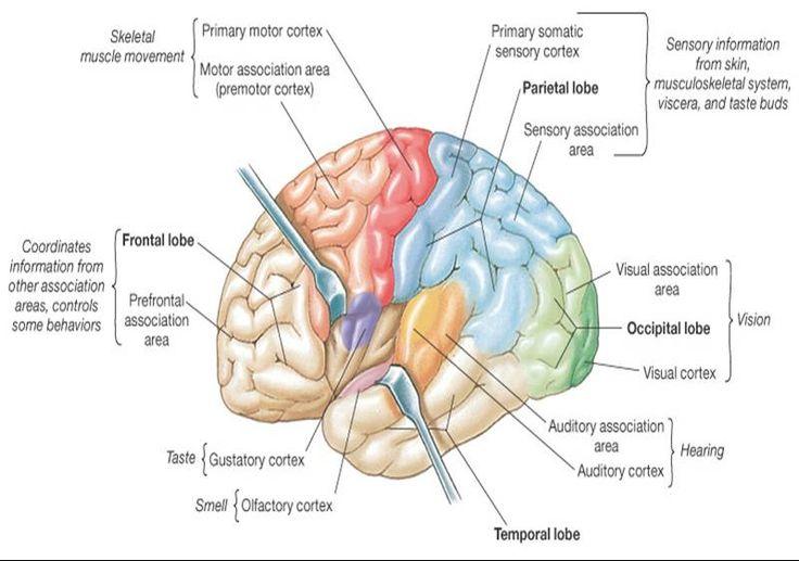 "cerebral+cortex+functional+areas | Cerebral Cortex - (gray matter ""computer"" )"