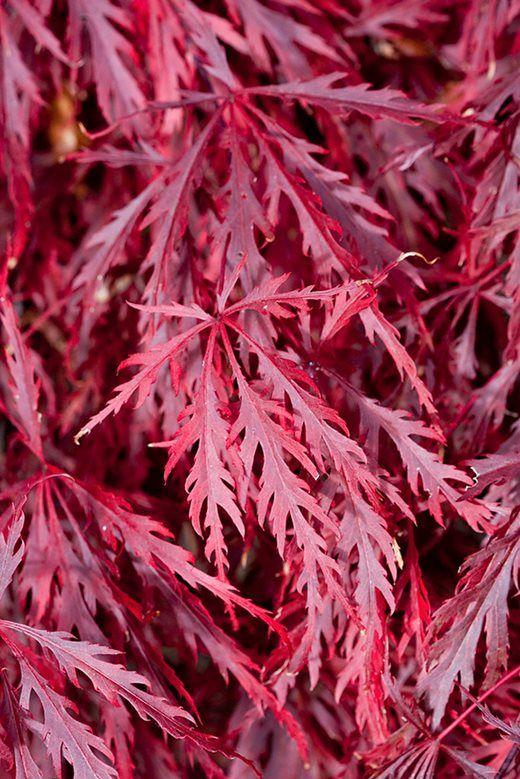 Acer palmatum (Dissectum Group) 'Garnet'