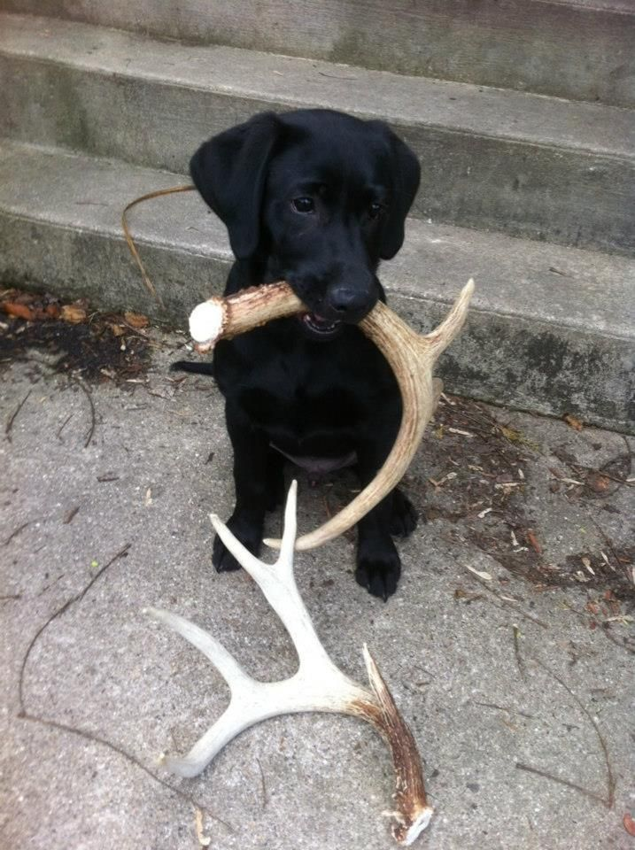 """Black Lab puppy.  This is a """"Shed Hunting Dog""""."""