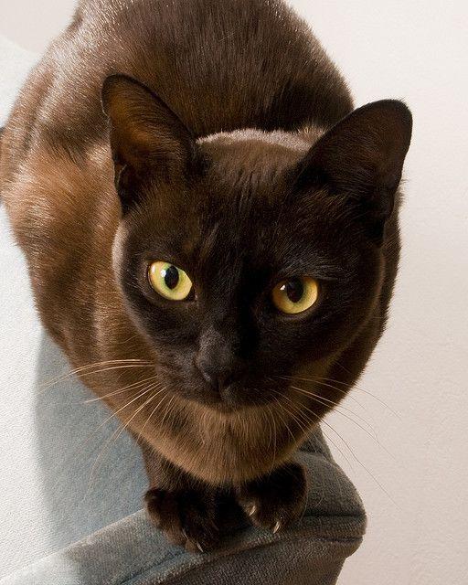515 Best Havana Brown Cat Images On Pinterest Adorable