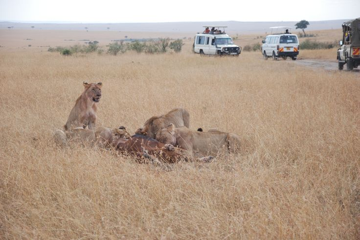 Lions and their lunch,Kenya