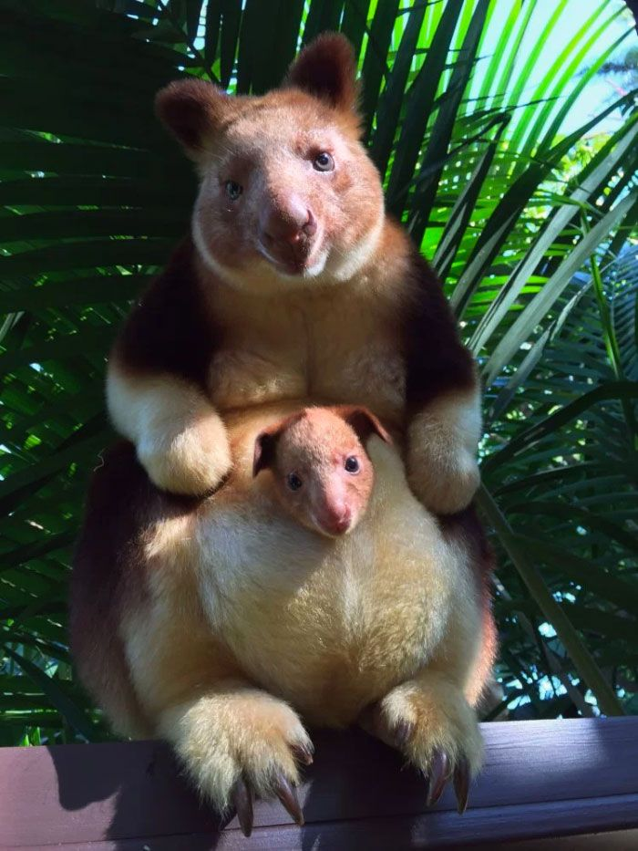 Turns Out Tree-Kangaroos Exist, And It's Impossible To Scroll Down This List Without Smiling