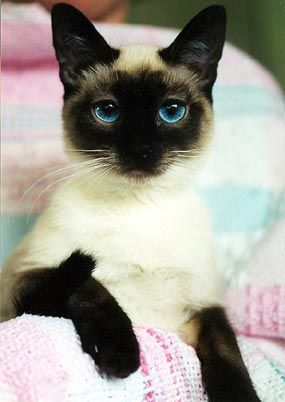 I am Siamese if you please...