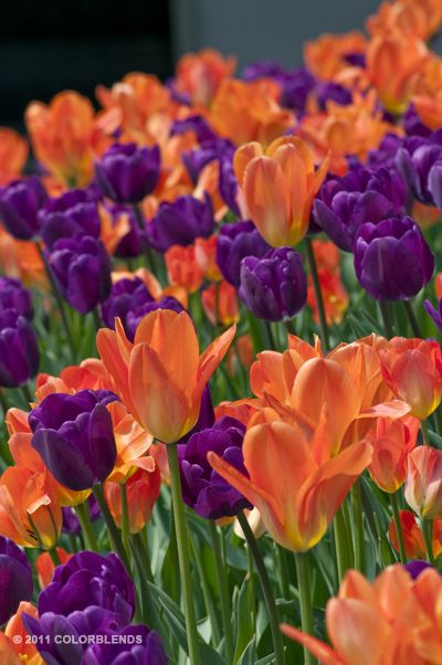 "Colorblends.com A photograph of the the spring flowering Tulip Bulbs cultivar ""Stop The Car"""
