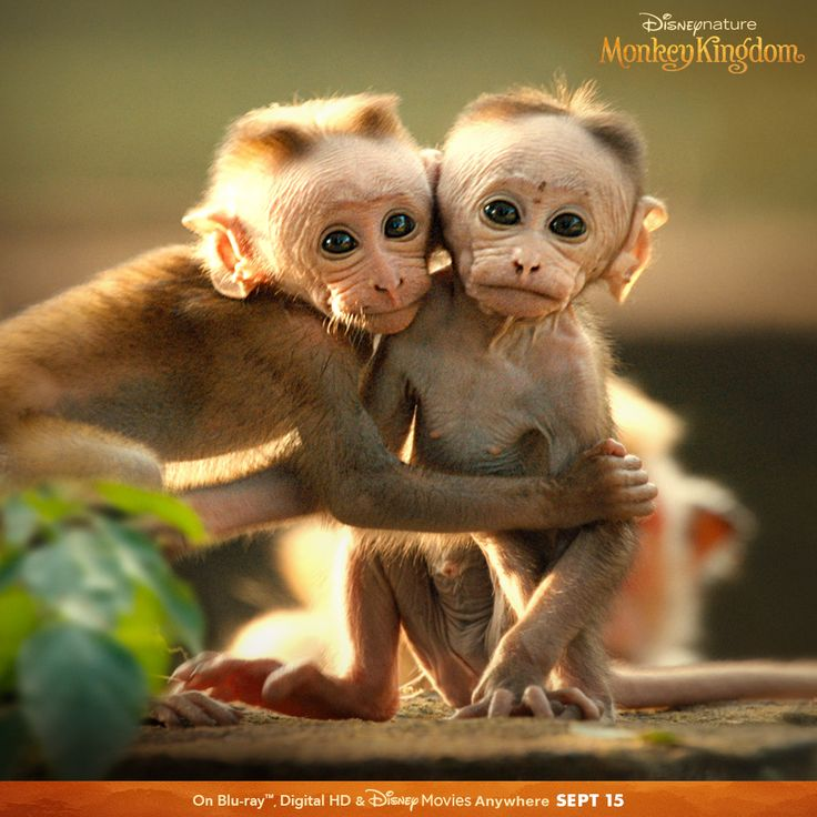 The monkeys are swinging into your home Sept 15! Monkey Kingdom will be available on