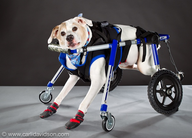Ike is a boxer whose is paralyzed due to a narrowing of his vertebrae. Walkin' Wheels recently developed this prototype chair for him so he could continue to get exercise despite his progressive paralysis using his front legs with the assistance of four wheels. As a form of physical therapy he regularly swims and gets massage.  Photo by Carli DavidsonAnimal Planets, Animal Con, Animal Kingdom, Heart Animal, Front Legs, Amazing Photographers, Animal Deserve, Animal Special, Animal Prosthetic