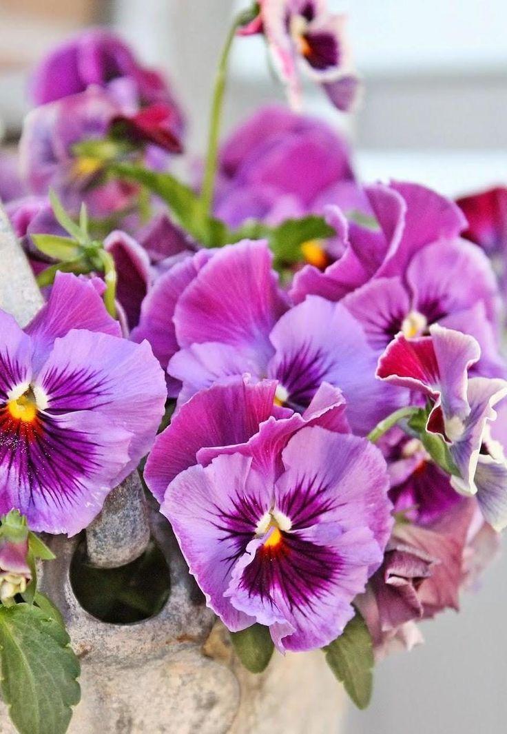И анютиных глазок стая | Весенние цветы, Цветы и Анютины ...