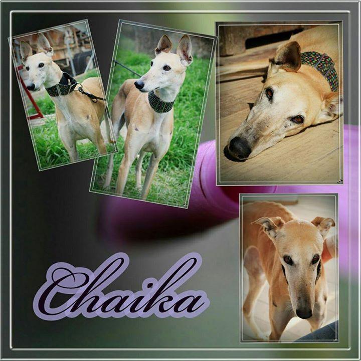 Galgo-Fans aufgepasst! Pflege- oder Endstelle Heute stellen wir Euch Chaika vor. Chaika ist eine wunderschöne und freundliche Galga. Sie hat eine Schulterhöhe von 70 cm und ist 2011 geboren.   Sie ist Menschen gegenüber sehr aufgeschlossen und liebt es in ihrer Nähe zu sein. Hunde liebt sie ebenso und ist sehr verträglich. Lange Spaziergänge und Streicheleinheiten sind absolut ihr Ding. Chaika ist Leishmaniose positiv. Sie ist gut eingestellt und hat nur einen sehr niedrigen Titer. Ansonsten…