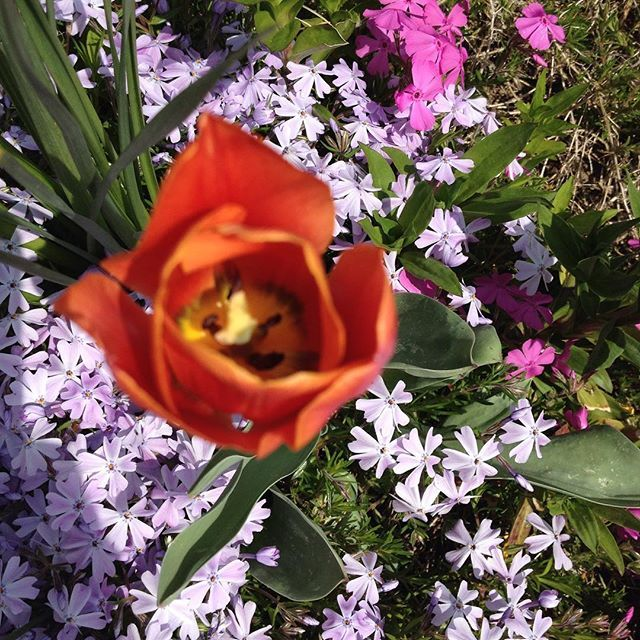 #mindfulness#achtsamkeit#spring#frühling#aubrieta#blaukissen#gardening#garten#natur#nature#naturelovers#landliebe#landlust#bauerngarten#gartenglück#gartenliebe#wachstum##growth#flowers#blumen#floral#springflowers#frühlingsblumen#structure#life#leben#tulip#polsterstauden#blossom#blüte
