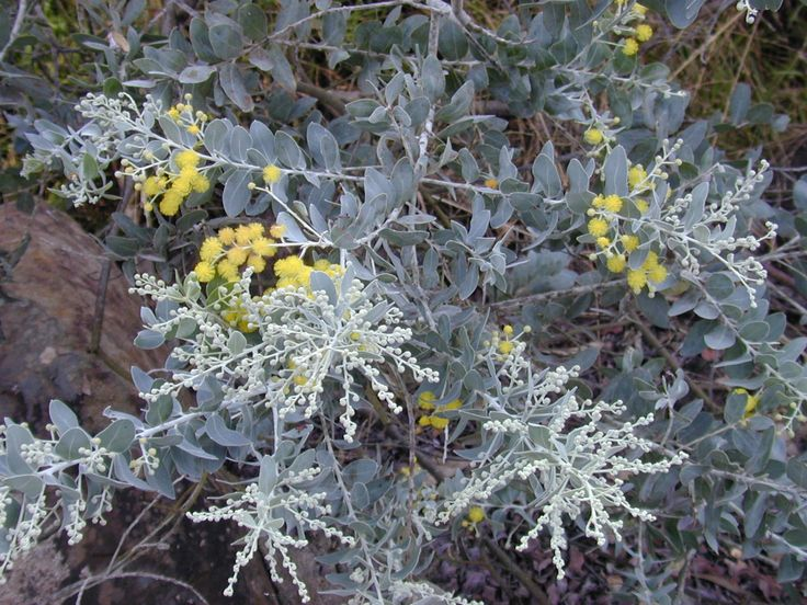 Acacia podalyriifolia (QLD Silver Wattle)