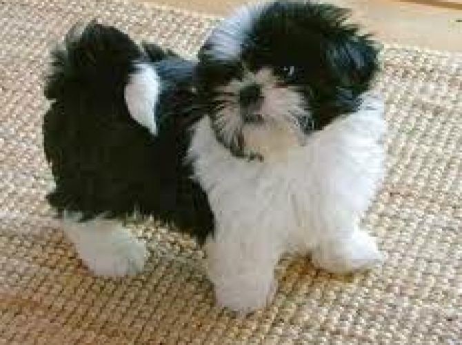 Cute Little Black And White The Shih Tzu Shih Tzu Puppies Cute