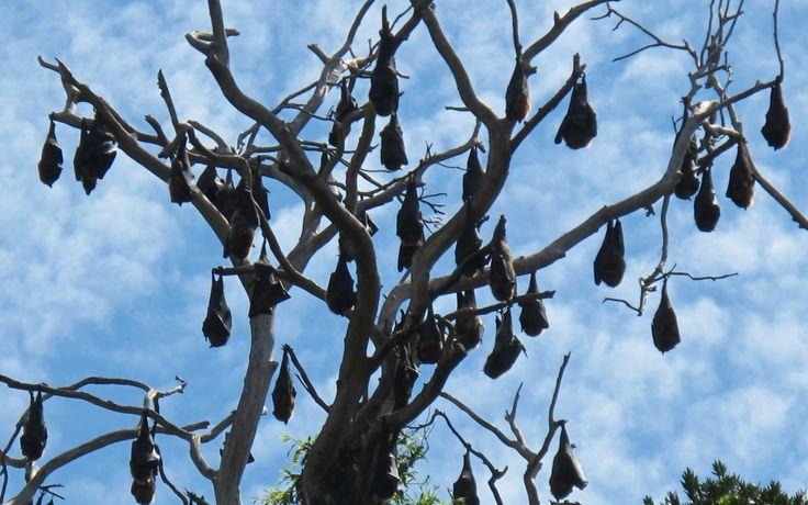 Flying foxes (fruit bats), Royal Botanical Gardens, Sydney.