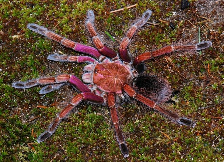 Pamphobeteus sp 'platyomma' | spiders, scorpions and ...