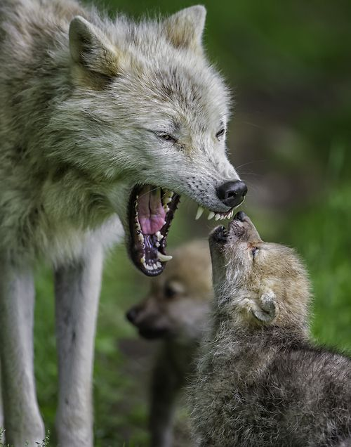 """Listen to Mama"" - Arctic Wolf mom and her pups by Daniel Parent via 500px"