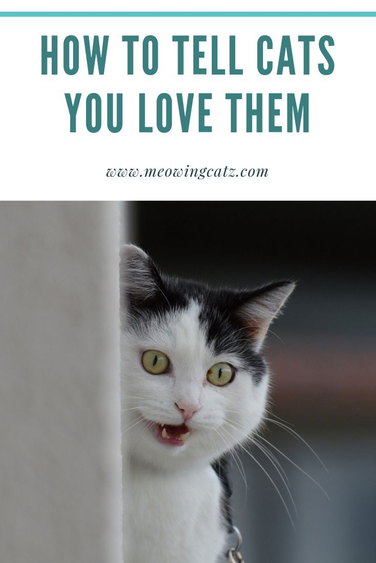 How To Tell Your Cats That You Love Them Cat Quotes Funny Cats Cat Love