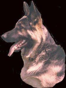 Alkarah Quality Akc German Shepherd Dogs German Shepherd Dogs