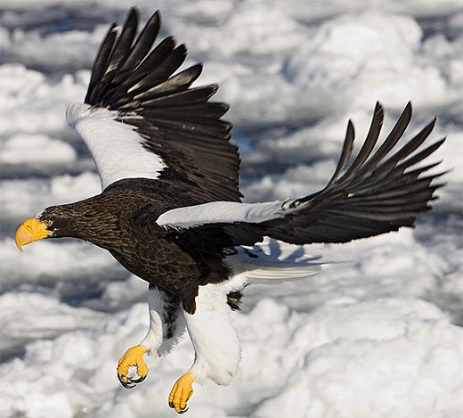 "Steller's Sea Eagle. Steller's Sea Eagles (Haliaeetus pelagic us) are found in eastern Russia around Sea of Okhotsk and on the Kamchatka Peninsula. They are rated ""Vulnerable"" on the IUCN Red List."