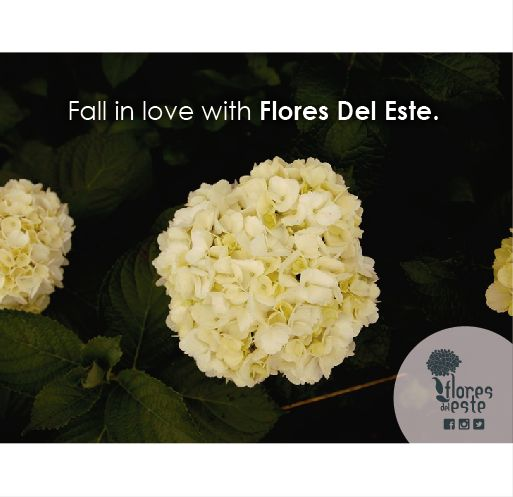 Fall in love with flores del Este.  #hydrangeas #flowers #shine #pink #homedeco #springflowers