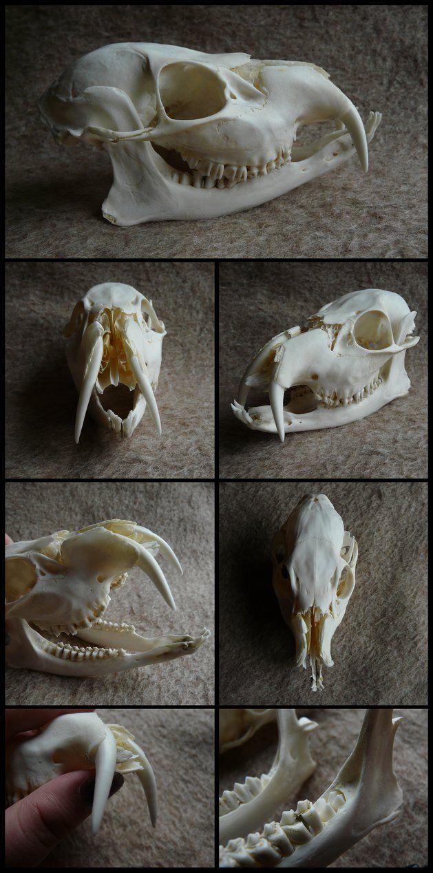 Chinese Water Deer Skull by CabinetCuriosities on DeviantArt
