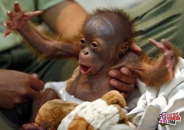 Mis Monas on Pinterest | Orangutans, Baby Orangutan and Monkey