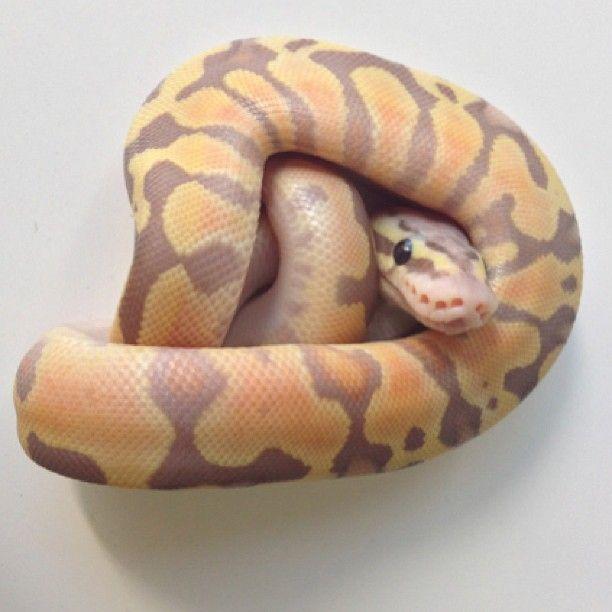 25+ Best Ideas About Snake Breeds On Pinterest