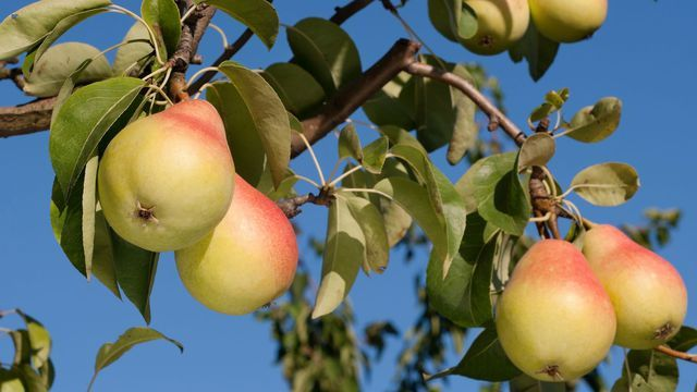 17 meilleures id es propos de poiriers sur pinterest jardin plant de fruits arbres - Quand tailler les arbres et arbustes ...