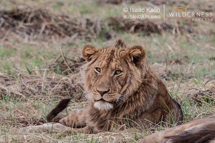 A young male lion from the Papyrus Pride #BusangaPlains #Zambia #safari
