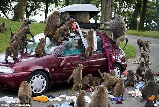Like a flash sale at a clothing store, a troop of baboons raid a safari tourist's overhead luggage spilling the contents across the ground, much to her horror