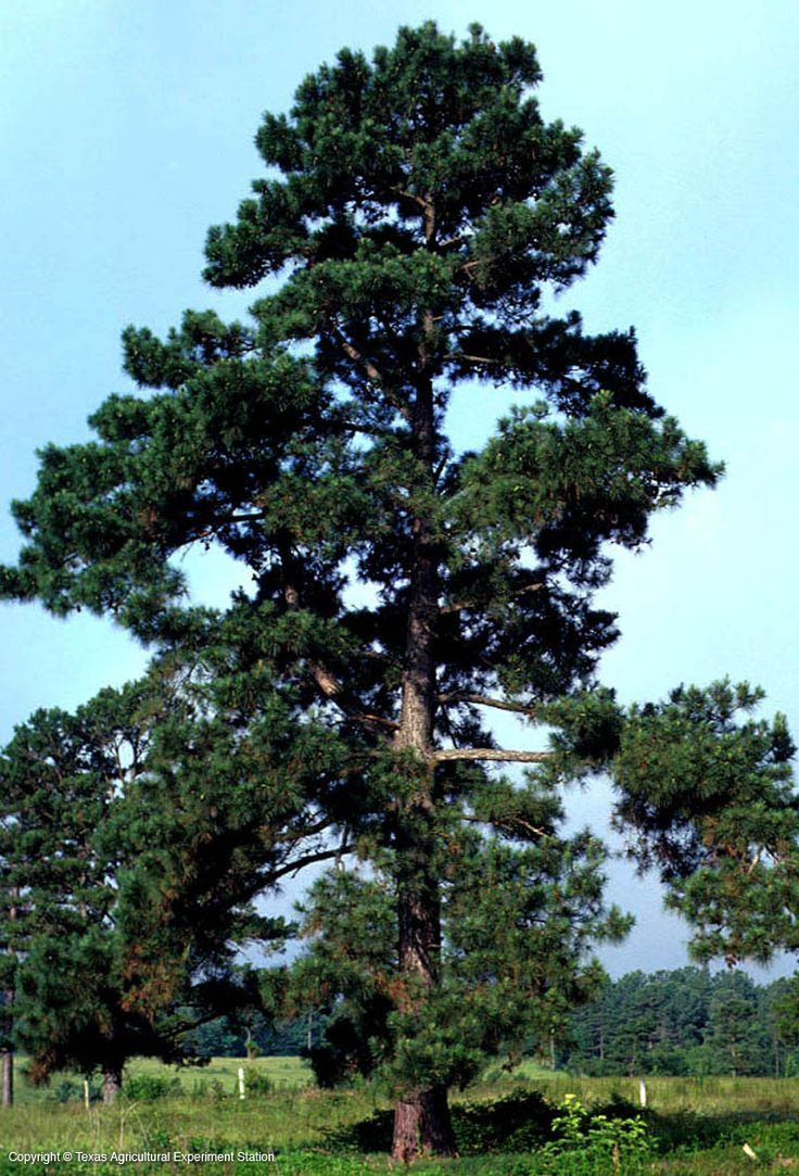 Loblolly pine oldfield pine pinus taeda pinaceae most for Pine tree timber