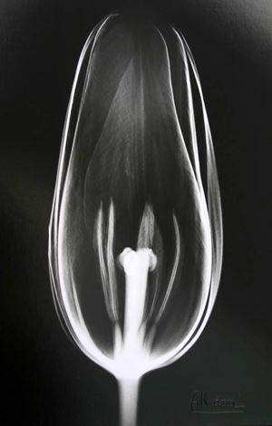 Tulip SE13