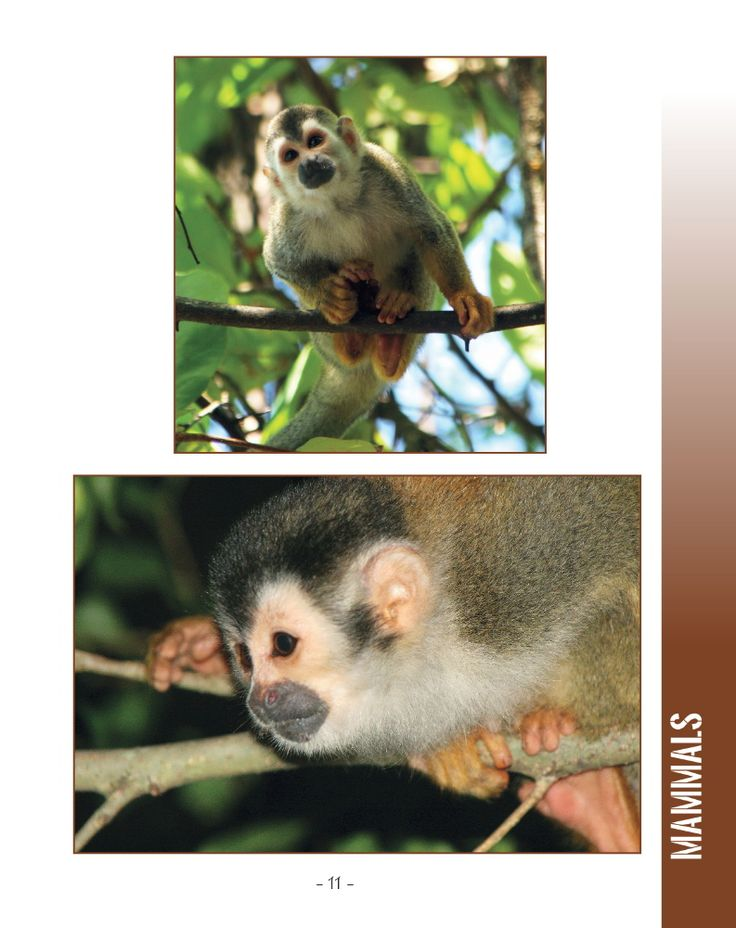 Wildlife in Central America 2; 25 MORE Amazing Animals Living in Tropical Rainforest and River Habitats. Part of Wildlife Around the World Series.   Photographs and Text by Cyril Brass.  Sample - Page 11 Red-Backed Squirrel Monkey