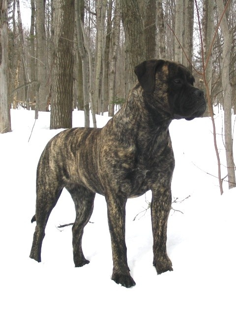 Roxy is Pretty but I love this Color of Bullmastiffs:)