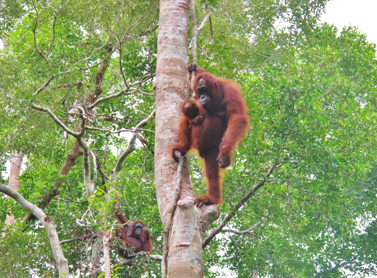 See #orangutans in the wild and help protect their habitat on a 3 day river boat trip to Tanjing Puting National Park, Kalimantan (#Borneo) #responsibletourism