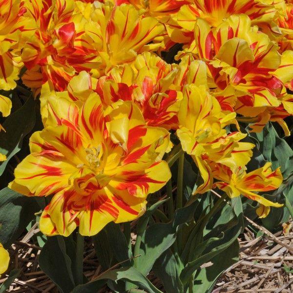 Tulpe 'Monsella': Jede Zwiebel trägt eine größere und 2 bis 3 kleinere gefüllte Blüten. Pflanzt man sie also im Abstand von 15 cm, entsteht ein dichter Blumenteppich. Pflanzzeit ist im Herbst - online bestellbar bei www.fluwel.de