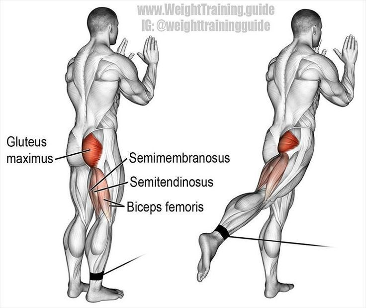 Standing cable hip extension. Targets your gluteus maximus. Your hamstrings (biceps femoris, semitendinosus, and semimembranosus) act as synergists.  Use the standing cable hip extension as an auxiliary exercise to isolate your gluteus maximus. Training your gluteus maximus is important. It's not just for the ladies. Your gluteus maximus is the largest muscle in your body. As a key component of your posterior chain muscles (which are the prime movers of forward propulsion), it is essential f
