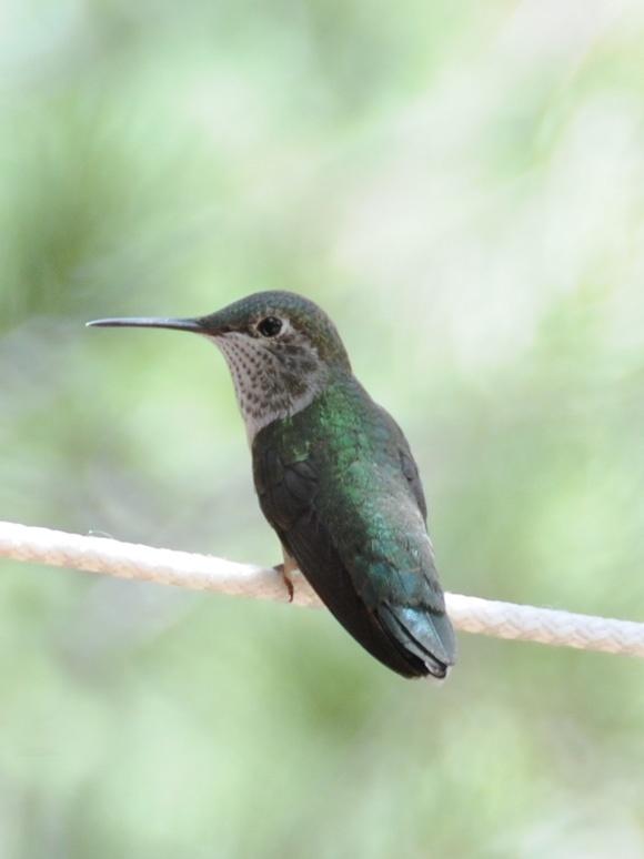.Birds So, Sweets, Little Birds, Hum Birds, Beautiful Hummingbirds, Pets Animal, Animal Reference, Diy Projects, Adorable Animal