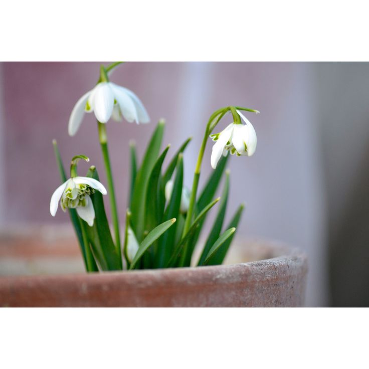 #flowers #flower #fleur #tulipe #blanc #photooftheday #france #photo #macrophotography #macro #home #deco