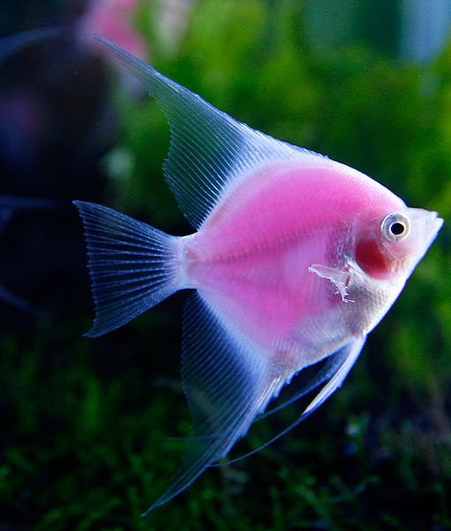 Taiwanese Engineer First Fluorescent Pink Angelfish